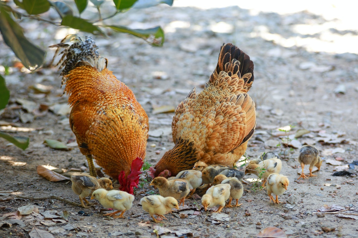 Guidelines On Raising Chickens – Important Points For Newbies